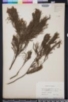 Callitris rhomboidea image