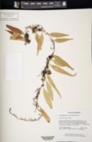 Image of Lemmaphyllum accedens
