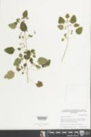Euphorbia ocymoidea image