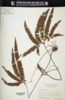 Adiantum hispidulum image
