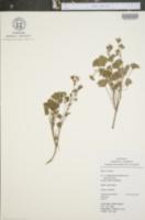Pelargonium odoratissimum image
