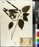 Arrabidaea coleocalyx image