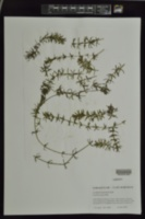 Hydrilla verticillata image