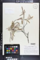 Vauquelinia californica subsp. sonorensis image
