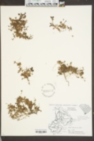 Houstonia procumbens image