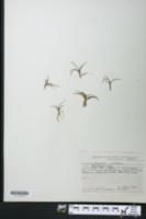 Littorella uniflora image
