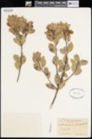 Arctostaphylos cinerea image