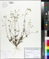 Image of Spergula morisonii