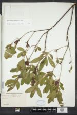 Rhododendron canadense image