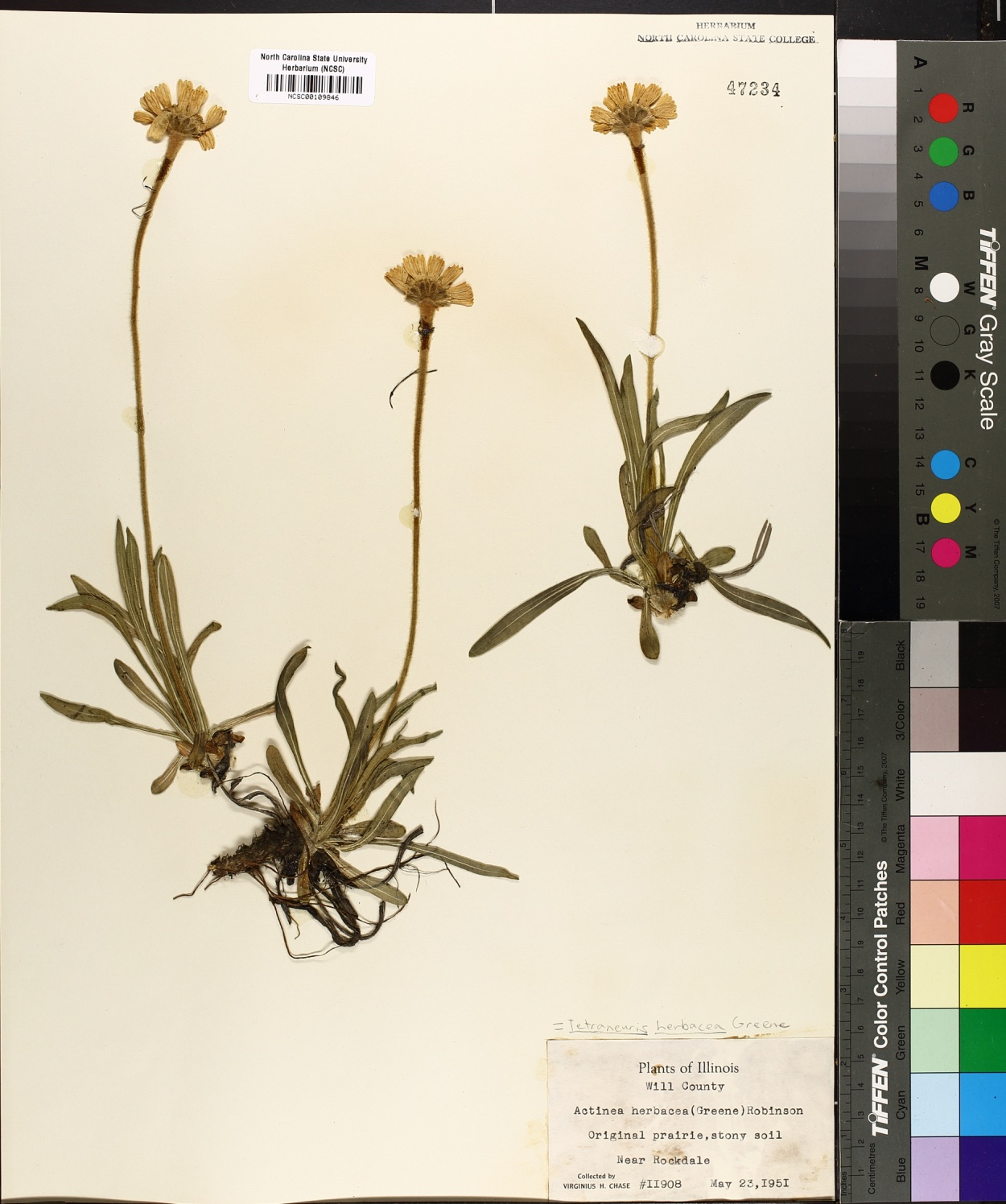 Tetraneuris herbacea image