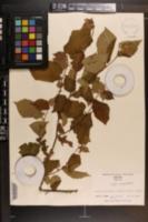 Corylus americana image
