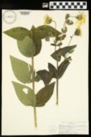 Silphium integrifolium var. integrifolium image
