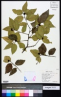 Image of Celtis lindheimeri