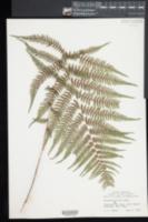 Athyrium filix-femina image