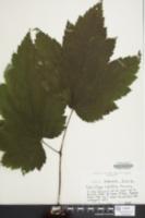 Image of Actaea rubifolia