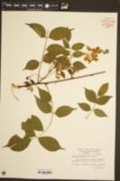 Wisteria sinensis image