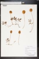 Mimosa quadrivalvis image