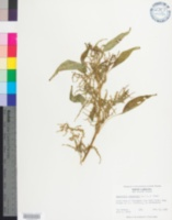Image of Amaranthus cannabinus