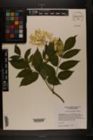 Sambucus nigra subsp. canadensis image