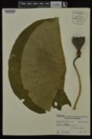 Nelumbo lutea image