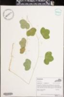Passiflora lutea var. glabriflora image