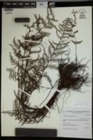 Adiantopsis chlorophylla image