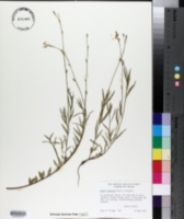 Image of Oenothera calcicola