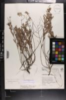 Crocanthemum nashii image