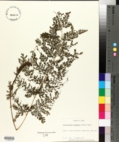 Image of Arachniodes standishii