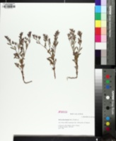 Image of Paronychia fastigiata