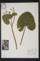 Caltha palustris var. palustris image