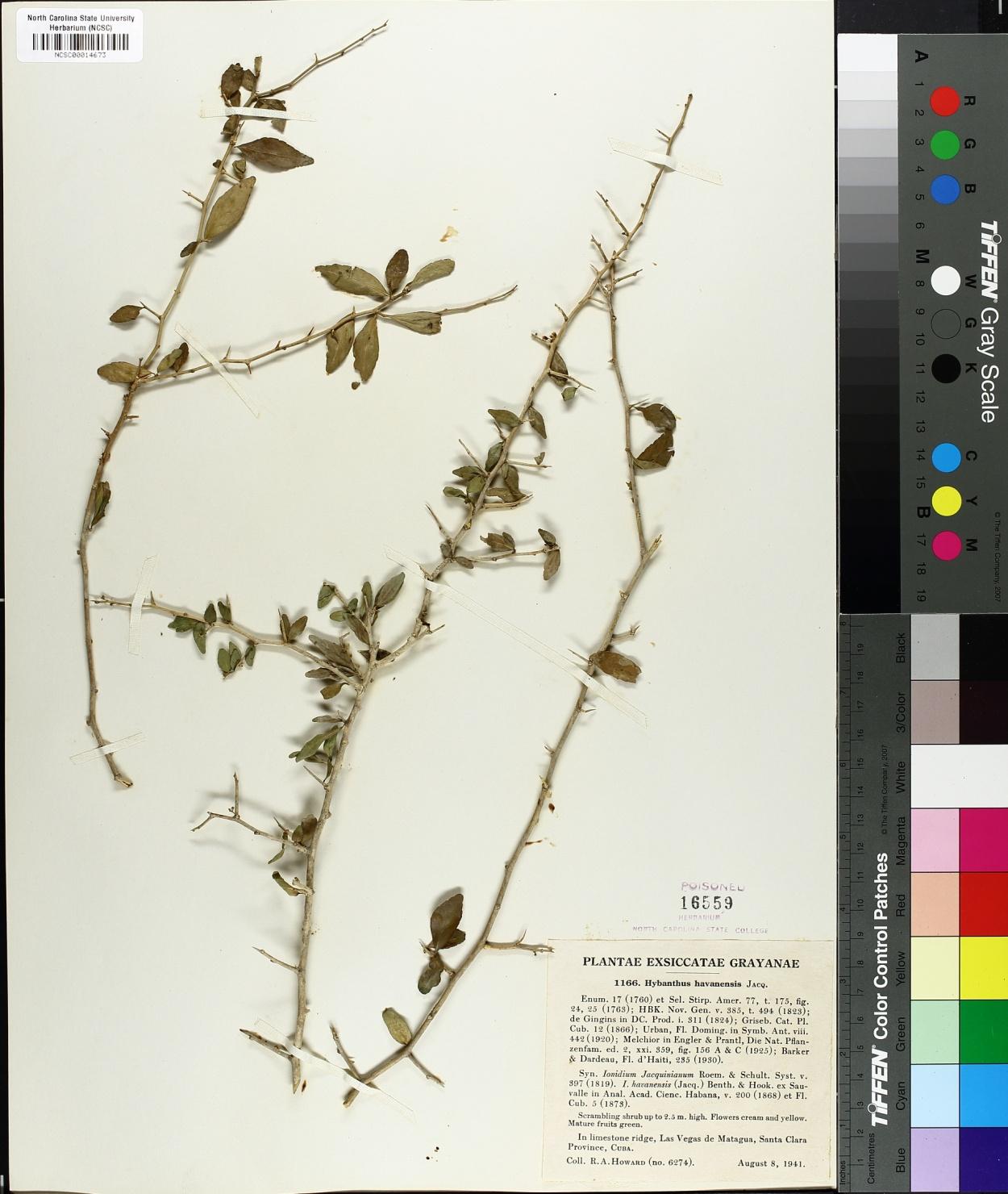Hybanthus havanensis image