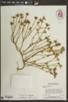 Portulaca amilis image