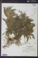 Image of Selaginella articulata