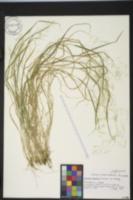 Image of Agrostis howellii