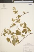 Image of Rubus laudatus