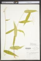 Dichanthelium latifolium image