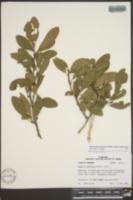 Sideroxylon lanuginosum image