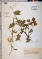Lathyrus odoratus image