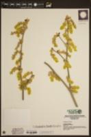 Image of Corylopsis gotoana