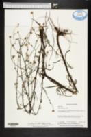 Symphyotrichum bahamense image