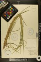 Paspalum boscianum image