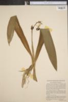 Image of Epidendrum cochleatum