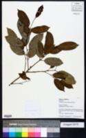 Image of Clarisia racemosa