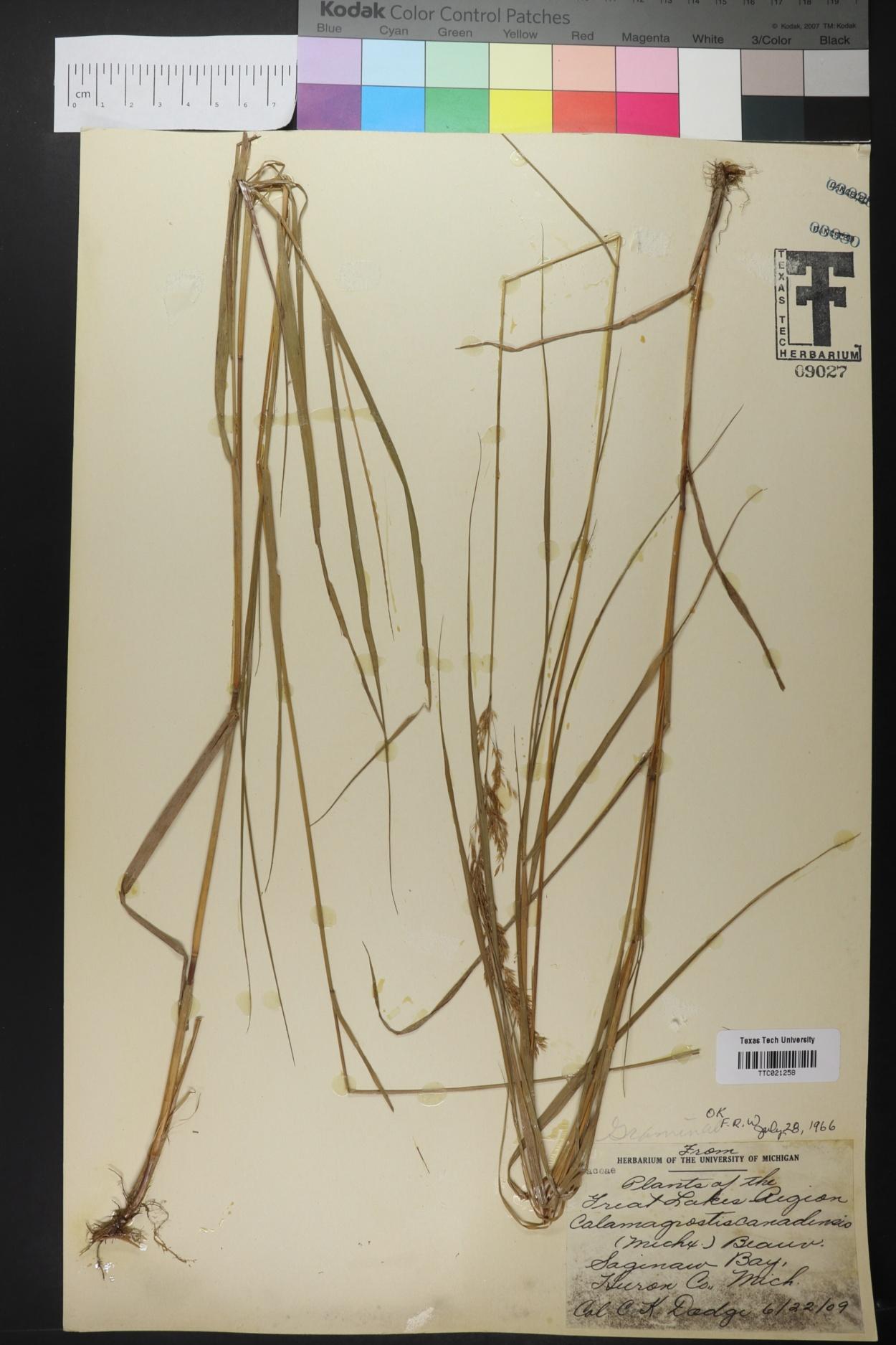 Calamagrostis carchiensis image