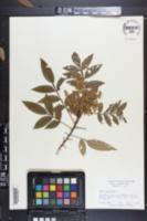 Rhus copallinum image