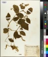 Image of Gouania latifolia