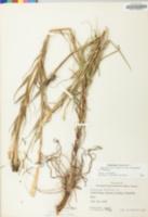 Tragopogon pratensis image