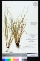 Carex calcifugens image