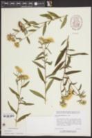 Inula britannica image
